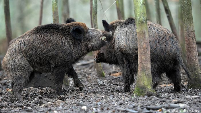 Wild boars in Bavaria