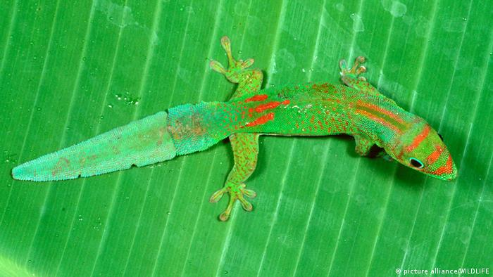 Madagascar Day Gecko on a leaf