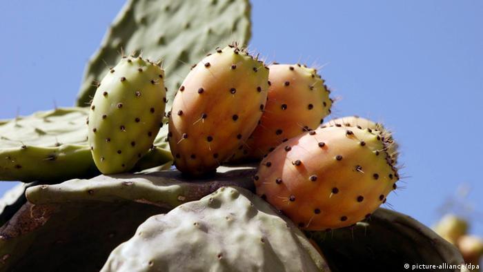 Kaktusfeigen Malta