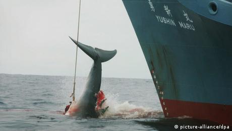 Japan's Antarctic whaling hunt ruled 'not scientific'