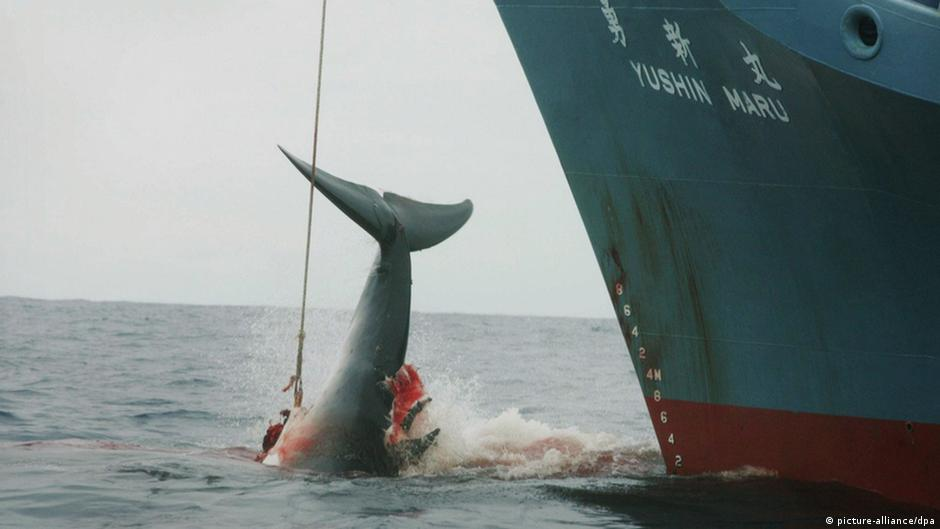Science- reasons FOR whaling- HELP!!?