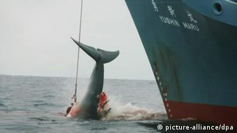 A whale hangs from the side of a ship