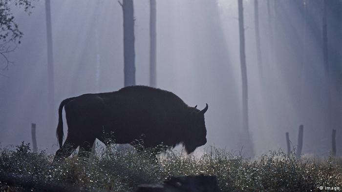 Polen ein Wisent im Urwald von Bialowieza
