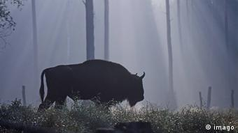 Bison in a forest in Poland, Bialowieza (Photo: imago/Harald Lange)