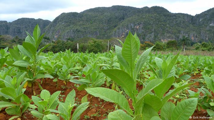 Kuba Landwirtschaft Tabakanbau (Grit Hofmann)