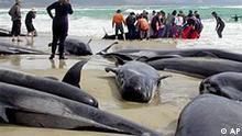 In this photo released by the Tasmanian Parks and Wildlife Service shows rescue workers attempting to save a pilot whale after more than 70 died following their stranding on a remote beach in southern Australia, seen here at Marion Bay, Tasmania, Wednesday, Oct. 26, 2005. In the past two days over 130 have died as three groups of long-finned pilot whales beached themselves on the southern island state of Tasmania. (AP Photo/Tasmanian Parks and Wildlife Service, Liz Wren, HO)