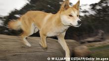 Australien Hund Dingo