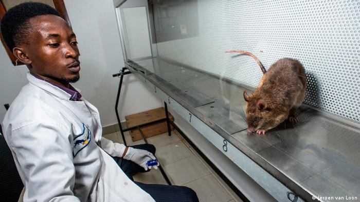 Rats sniffs sputum samples