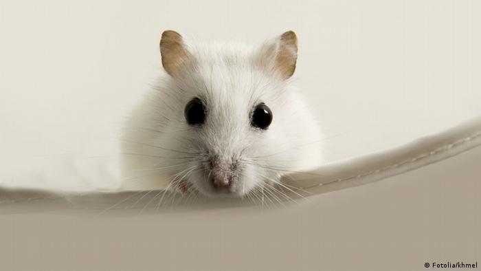 A white mouse (Fotolia/khmel)
