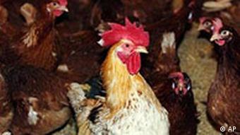 Vogelgrippe Ein Hahn steht inmitten von Huehnern im Stall
