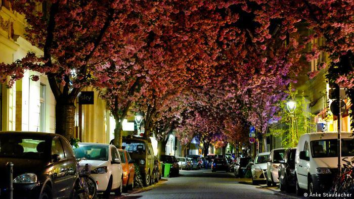 Сакура в Бонне