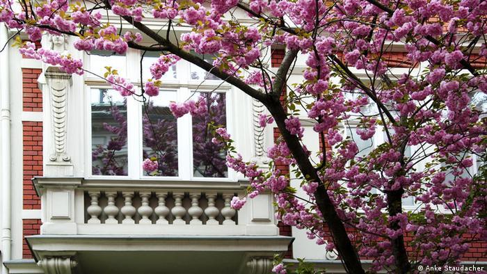 Kirschblüten an der Heerstrasse in Bonn