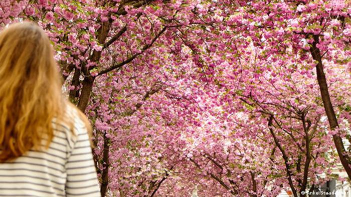 Kirschblüten an der Heerstrasse in Bonn (Anke Staudacher)