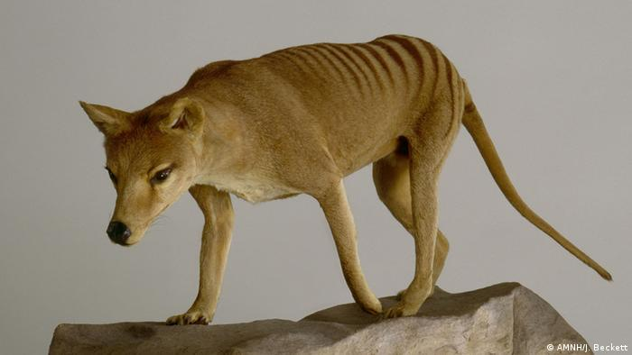 Thylacine (Photo: © AMNH/J. Beckett)