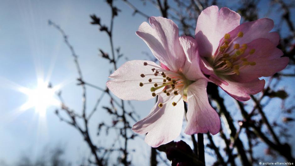 Explosion in Rosa: Der Bonner Kirschblütenzauber | DW | 13.04.2014