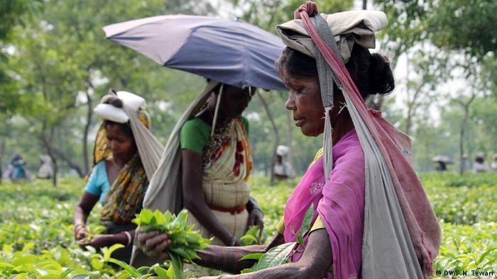 Teegarten in Indien
