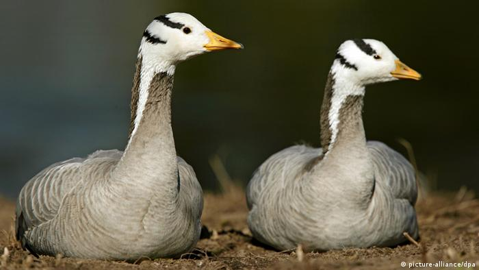 Two Bar-headed geese