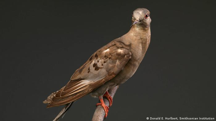 Martha, the last carrier pigeon (Donald E. Hurlbert, Smithsonian Institution)