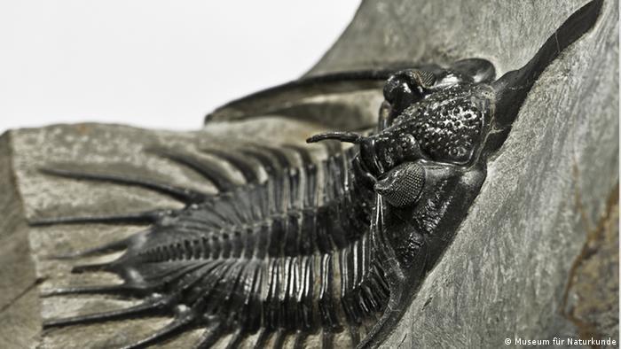 Trilobiten Fossil (Photo: Museum für Naturkunde Berlin) nur im Zusammenhang mit der Bildergalerie Aus sie noch über die Erde streiften... verwenden