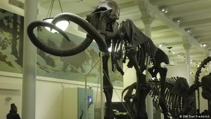 A man stands in front of a woolly mammoth skeleton at the American Natural History Museum