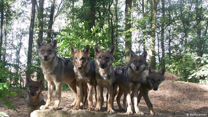 Wolf Teaser ohne Logo (Wolfscenter)