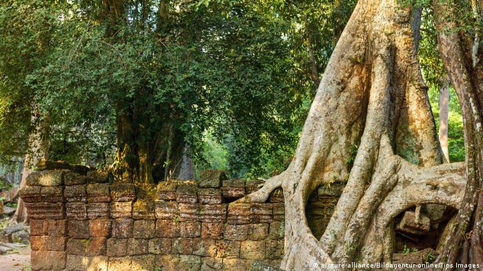 Bildergalerie Bäume Würgefeige