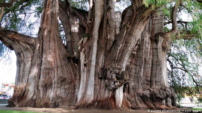 Bildergalerie Bäume Sumpfzypresse