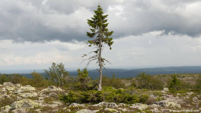 Bildergalerie Bäume Old Tjikko
