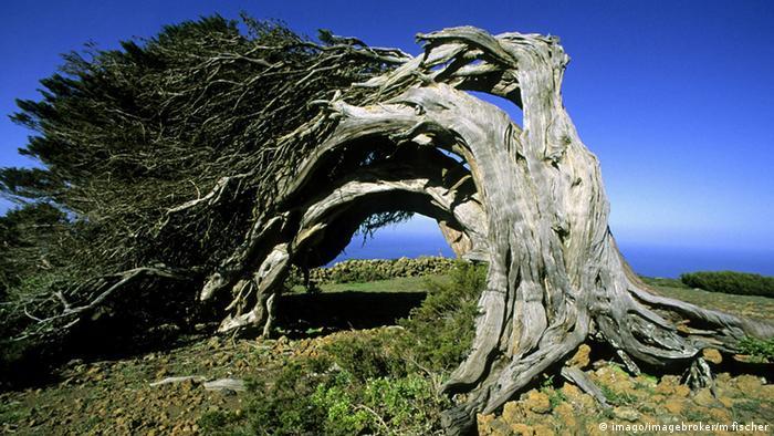 Ein alter Baum wächst in einer Bogenform und berührt mit der Baumkrone den Boden