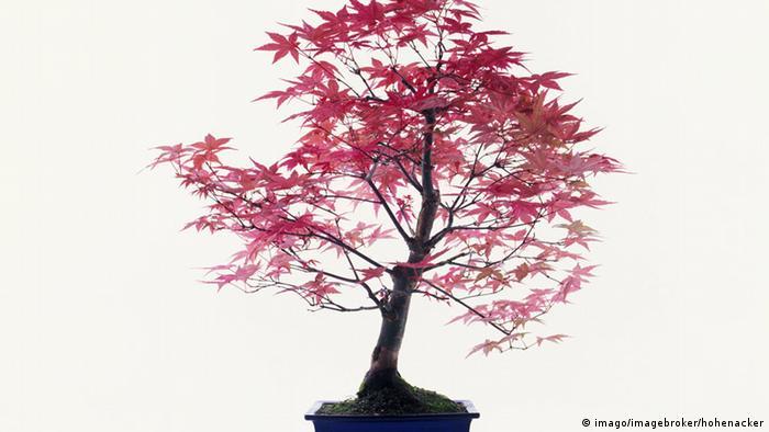 Bildergalerie Bäume Japanischer Fächerahorn