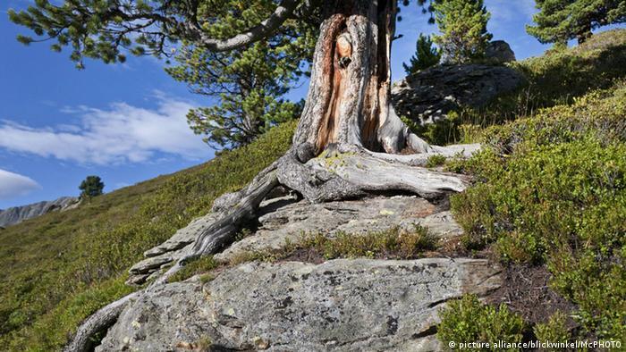 Bildergalerie Bäume Föhre