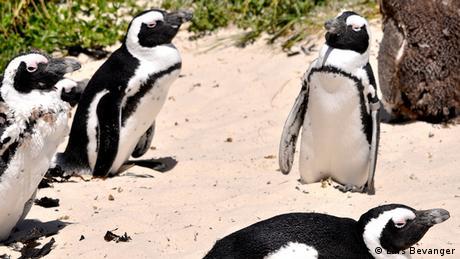 Afrikanischer Pinguin