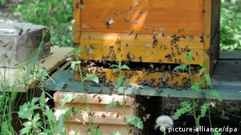Bees near a beehive. (Photo: Rainer Jensen dpa/lbn)