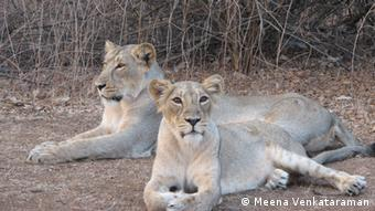 Two lions in the Gir National Park in India (Photo: Meena Venkataraman)