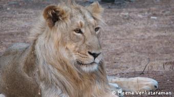 an Asian lion, relaxing