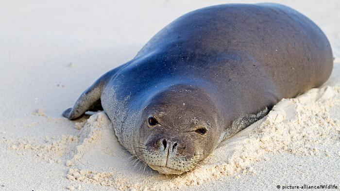 Hawaiian monk seal Photo: picture-alliance/Wildlife