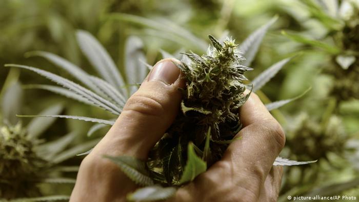 Eine Hand greift an eine blühende Cannabis-Pflanze (Foto: AP Photo/Matilde Campodonico)