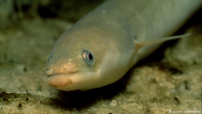 Europäischer Aal