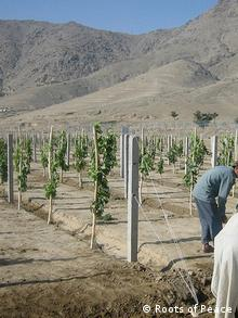 Farmers working on on vineyard