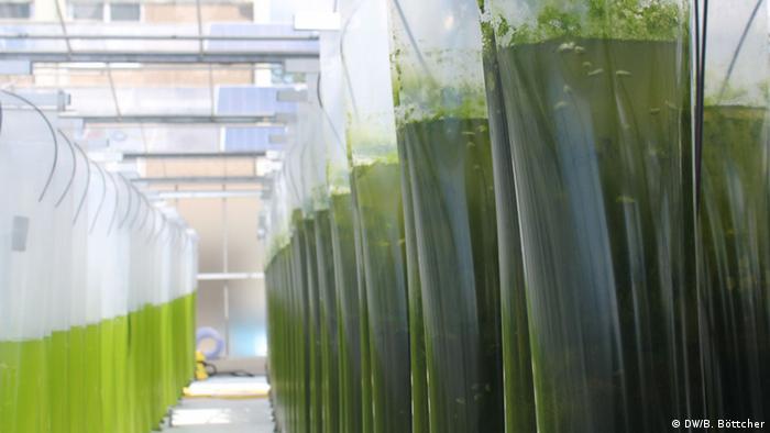 Die Forscher erproben drei verschiedene Methoden, Algen anzuziehen. Unter welchen Bedingungen wachsen die Algen am besten und wann produzieren sie am meisten Öl? Zwei der Methoden ist die Anzucht in großen senkrechten Kunststoffschläuchen - drinnen oder draußen.