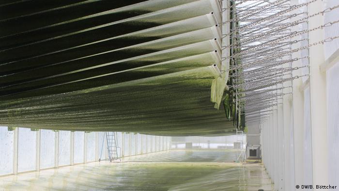 Die dritte Methode, Algen anzuziehen, ist diese hier: waagrecht hängend. Das Wasser tropft durch das Grünzeug hindurch bis an den Boden. In der Halle herrscht Treibhausatmosphäre, denn sie wird geheizt. Die Wissenschaftler erforschen, ob sich dieser zusätzliche Energieeinsatz lohnt.