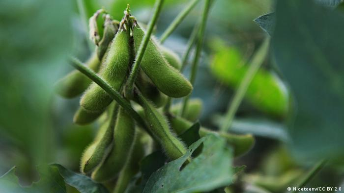 Photo: A soy plant (photo credit: CC BY 2.0: Nicetoenv/flickr: https://www.flickr.com/photos/88493584@N05/8253614605)