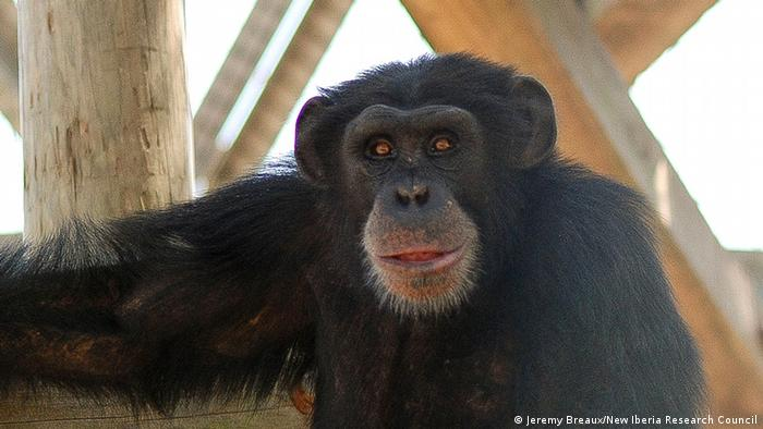 lab chimp at New Iberia Research Center Photo: Jeremy Breaux (New Iberia Research Council)