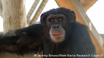 A close up of a chimpanzee (Photo: Jeremy Breaux, New Iberia Research Council)