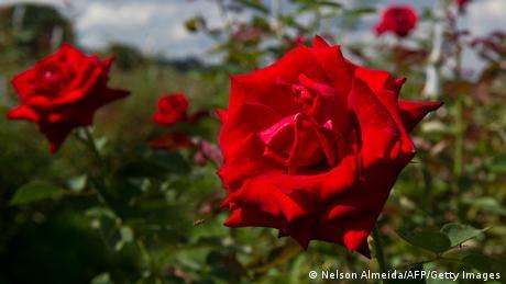 Bildergalerie essbare Blüten Rose