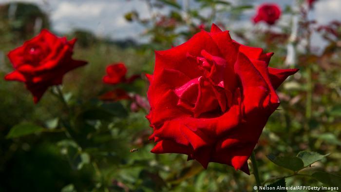 Blüten roter Rosen