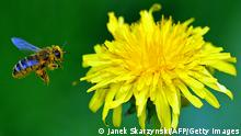 Bildergalerie essbare Blüten Löwenzahn