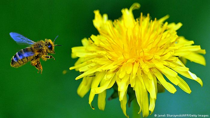 A bee approaching a yellow dandelion flower (photo: JANEK SKARZYNSKI/AFP/Getty Images)