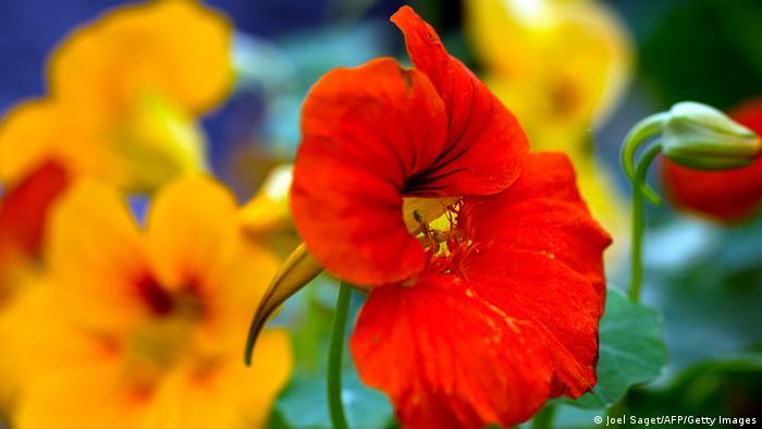 Bildergalerie essbare Blüten Kapuzinerkresse