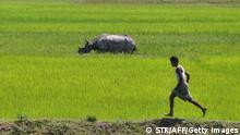 An Indian villager runs parallel to a horned rhinoceros moving close to the entrance of Rajbari village in Sonitpur district of Assam, about 180 kms from Guwahati on August 20, 2013. The rhinoceros, from the adjoining Kaziranga National Park, came in search of food. AFP PHOTO/BIJU BORO (Photo credit should read STR/AFP/Getty Images)